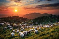 25 фотографий овечек, похожих на облака