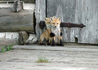 7 самых красивых в мире видов лисиц