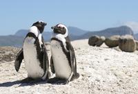Уморительные пингвины на пляжах Южной Африки