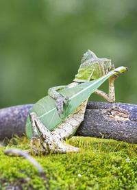 В Индонезии сфотографировали ящерицу, играющую на импровизированной гитаре