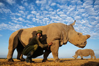 У этого самца носорога есть целая бригада вооруженных телохранителей!