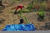 Как выращивают, собирают и обрабатывают миндаль