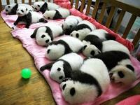 Детский сад для панд в Китае — самое чудесное место на Земле!