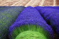 Гипнотическая красота процесса уборки лаванды
