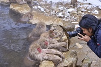 Джигокудани — парк снежных обезьян, в которых влюбляешься с первого взгляда