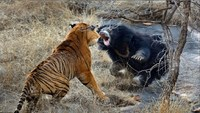 Как выглядят жестокие бои в дикой природе