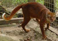 12 редких видов диких котов со всего мира, о существовании которых ты не догадывался