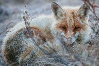 Русский шахтер прославился на весь мир благодаря этим снимкам лисиц!