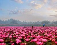 Уникальное озеро в Таиланде, усыпанное красными лотосами