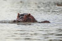 Озеро Найваша — в гостях у бегемотов
