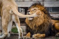 Этой умиравшей львице не давали шансов на жизнь, но одно событие изменило все!