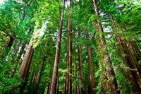 Наивысшее дерево в мире