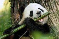 Большая панда больше не является вымирающим видом!