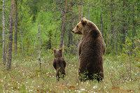 15 трогательных и милых фото о том, как медвежата учатся быть медведями