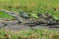 Верхом на крокодиле