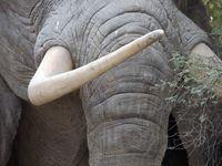 В Китае запретили продажу слоновой кости. И это исторический момент!