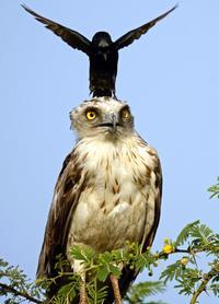 Назойливая ворона сводит орла с ума, снова и снова приземляясь ему на голову