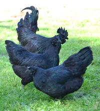 Эти редкие «готические» куры на 100% черные от перьев до внутренних органов и костей!