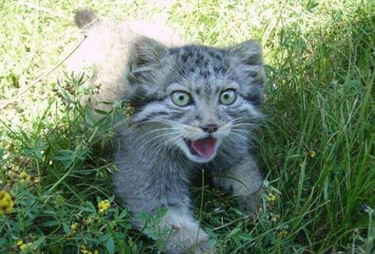 Русский фермер подобрал котят, но, когда они выросли, оказалось, что это манулы