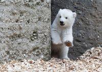 Белый медвежонок сделал первые шаги и сразу же покорил весь мир своим поведением!