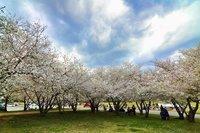 11 фото, доказывающих, что царство сакуры — американский город Мейкон, а не Япония