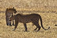 Как проходит бой свирепых леопардов за территорию
