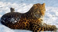 Дальневосточные леопарды будут жить