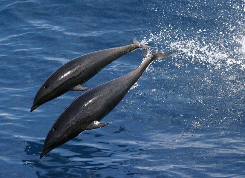 Потрясающие китовидные дельфины, которые словно летают над водой