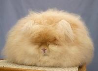 Ангорские кролики — самые пушистые кролики на свете