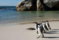 Как живется пингвинам в Африке
