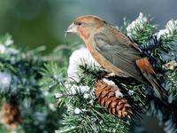 Большой оригинал: почему клест выводит птенцов зимой