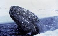 Операция «Прорыв»: как советский ледокол спас китов, зажатых во льдах у берегов США