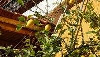 Лимоны в греческом саду