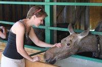 Ценное молоко и всадник верхом на «сохатом»: как приручили хозяина тайги