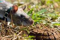 Грызуны специального назначения, или как крыс учат искать мины
