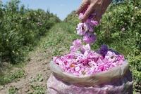 Долина роз в Болгарии: как получают драгоценное розовое масло