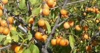 В мае в Сухуме поспевает алыча
