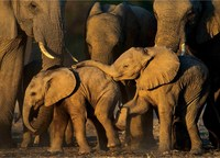 9 незабываемых снимков слонов в дикой природе