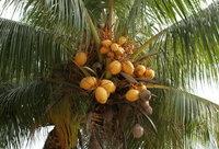 С пальм частенько падают халявные орехи