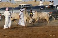Бои быков в Фуджейре проходят каждую пятницу