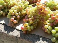 В Феодосии поспевает несколько видов винограда