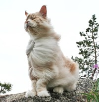 Девушка показала своего огромного кота породы мейн-кун, в его размеры сложно поверить