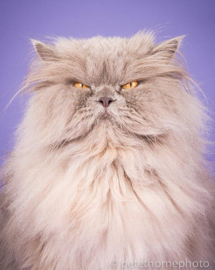 Толстые и красивые: фотограф Пит Торн доказывает, что хорошего кота должно быть много