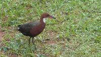 Птица, вымершая 136 000 лет назад, «восстала из мертвых», пройдя вновь цикл эволюции