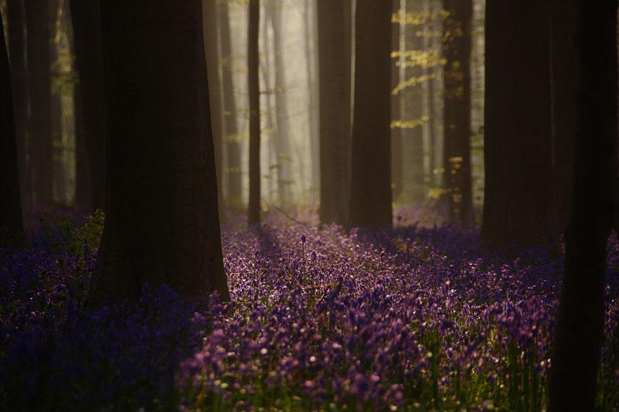 14 фото сказочного леса черничного цвета, который существует на самом деле