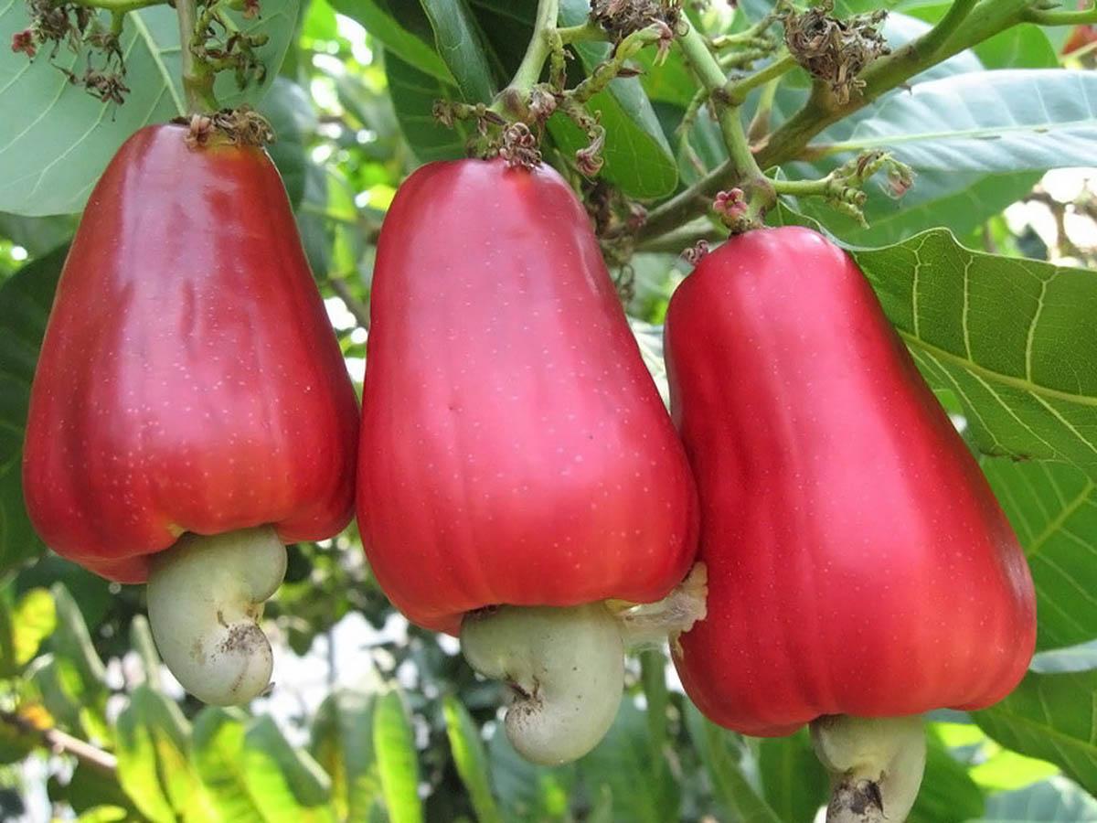 Картинки по запросу плоды какао фото
