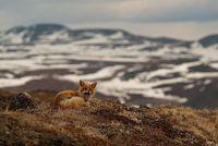 29 очаровательных фото лисиц на Чукотке