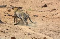 Этот кабан забыл, что спать на территории леопардов смертельно опасно!