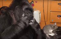 Горилла Коко усыновила двоих котят, потому что не может родить собственных детей