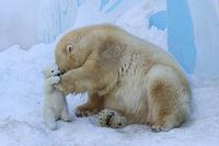 Белая медведица играет со своим детенышем в снегу в первый раз!